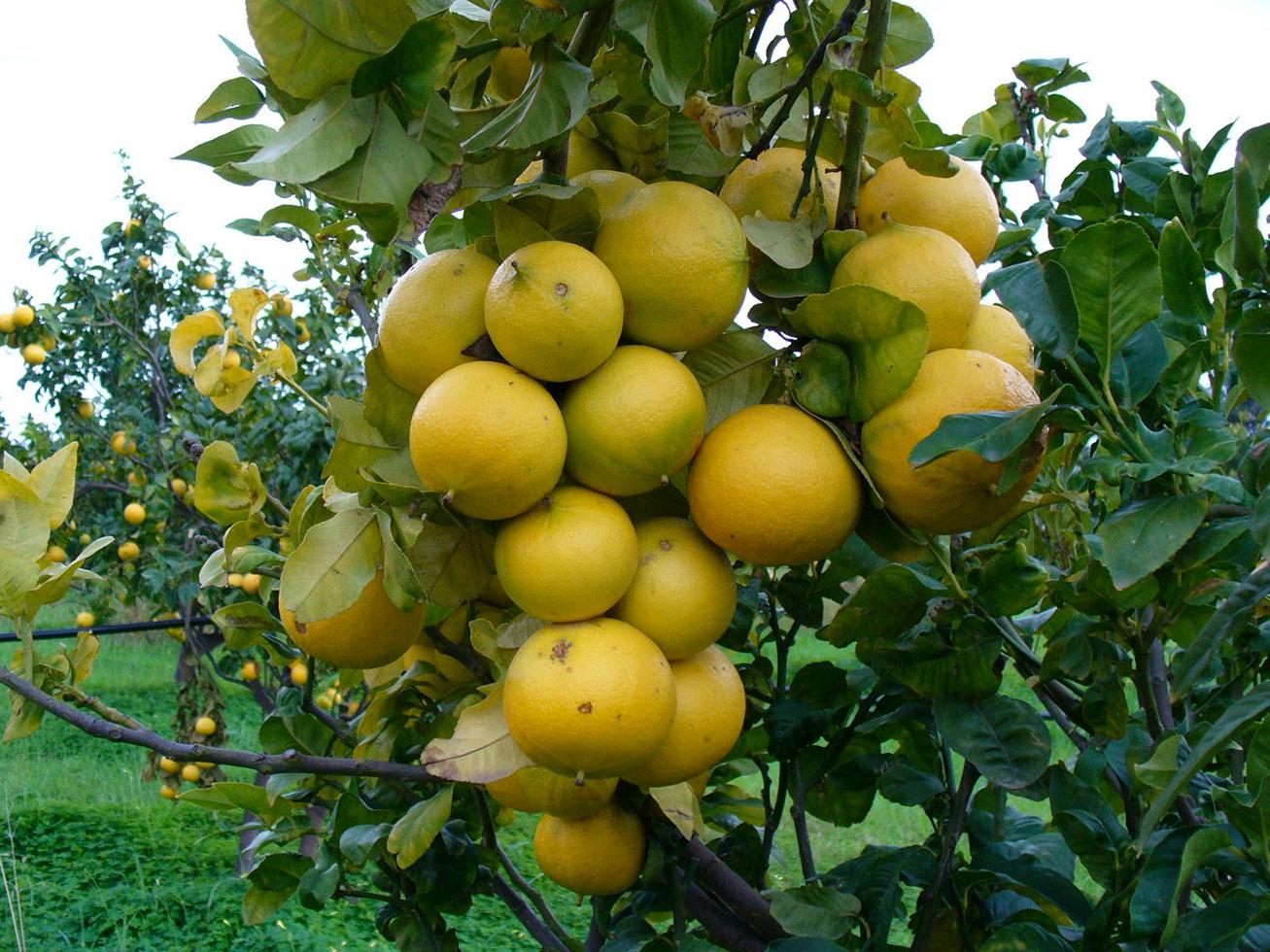 Il bergamotto preziosa base per i profumi, coltivato solo a Reggio