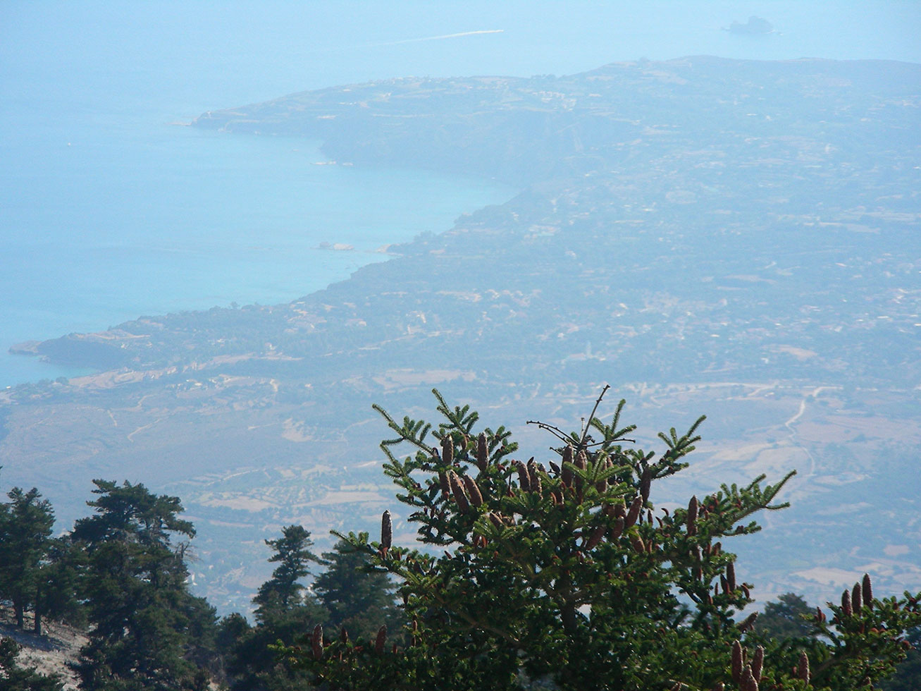Abies cefalonica, sullo sfondo la costa di Lixouri