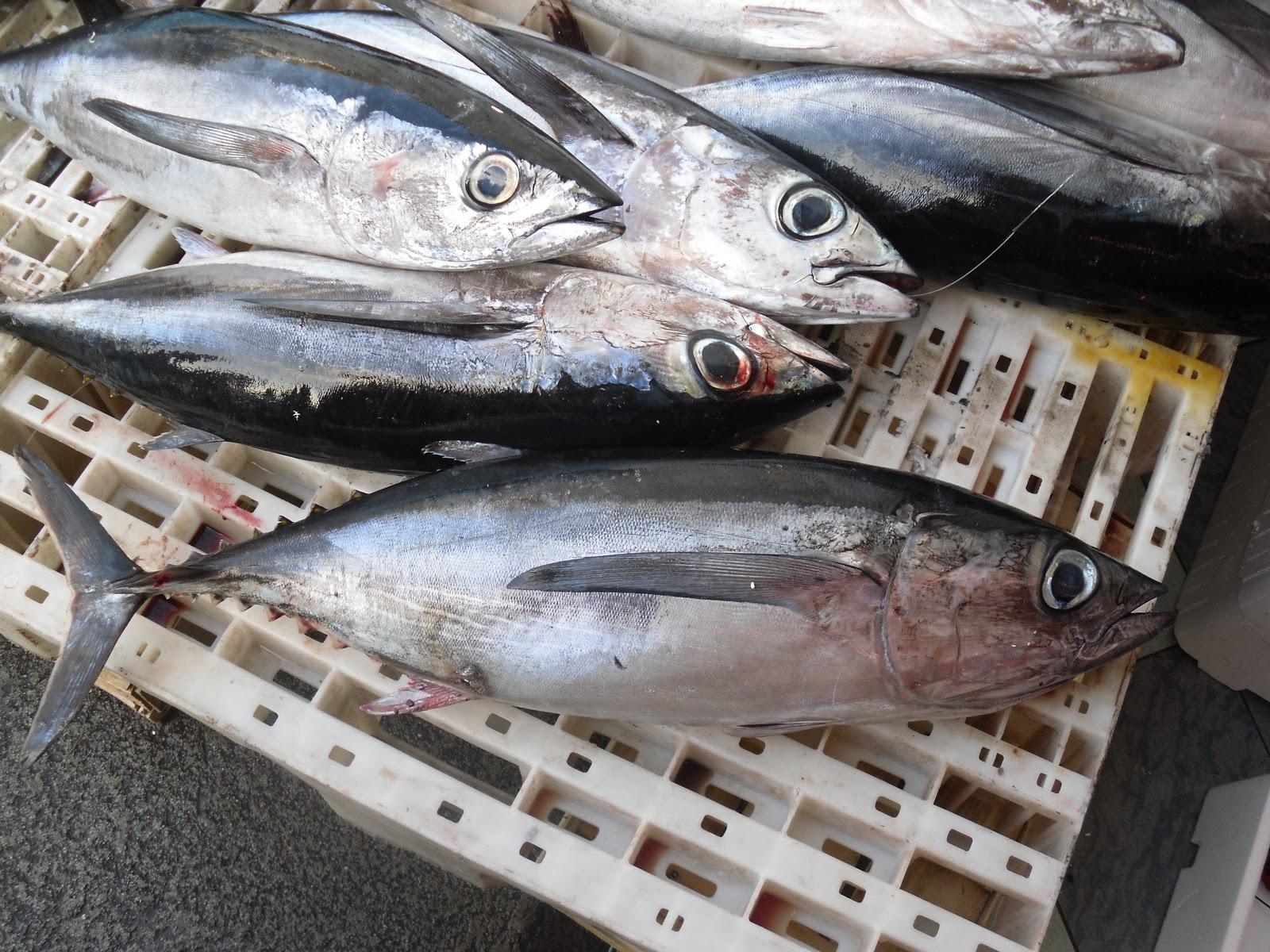 L'alalonga è un tonno dello Ionio siculo e dello Stretto