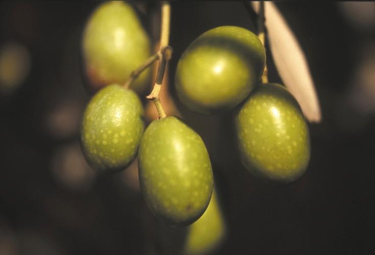 ulivo varietà frantoio