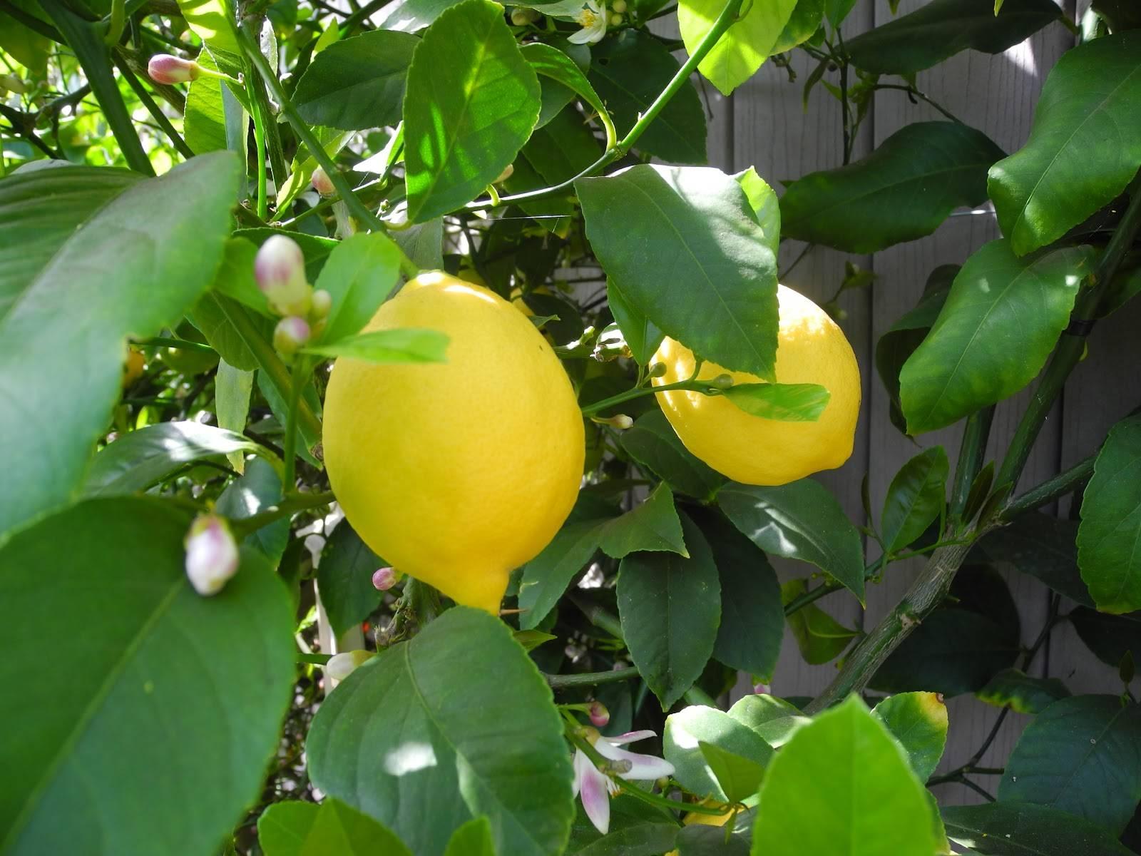 agr limone