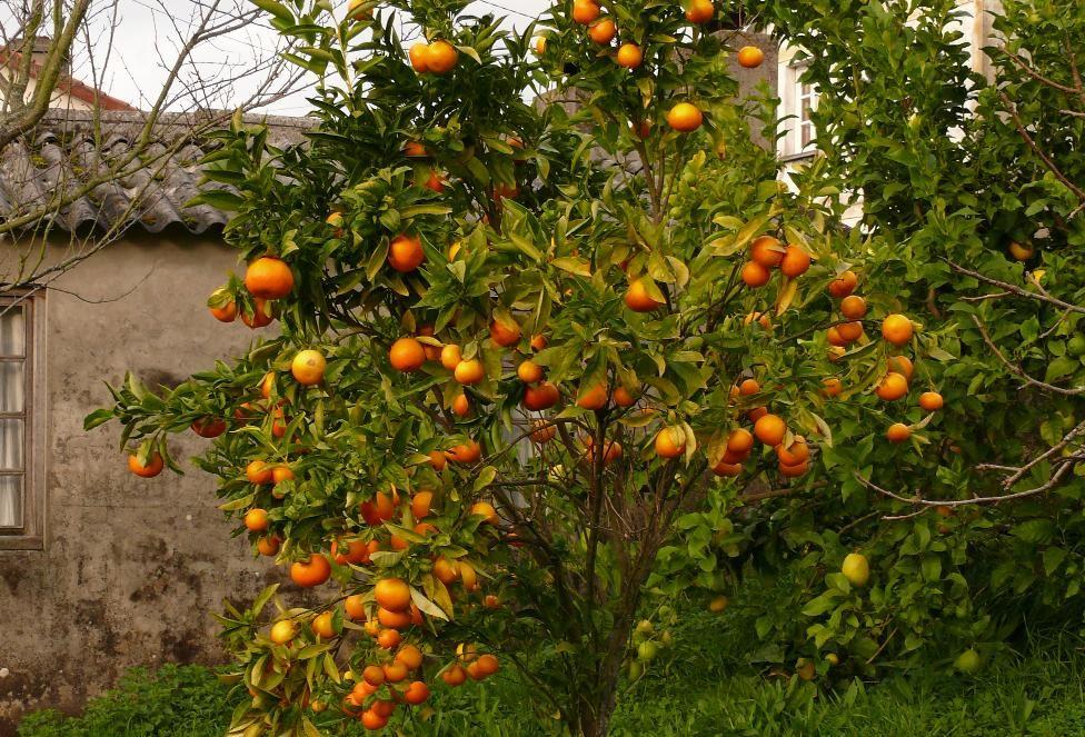 agr mandarino albero