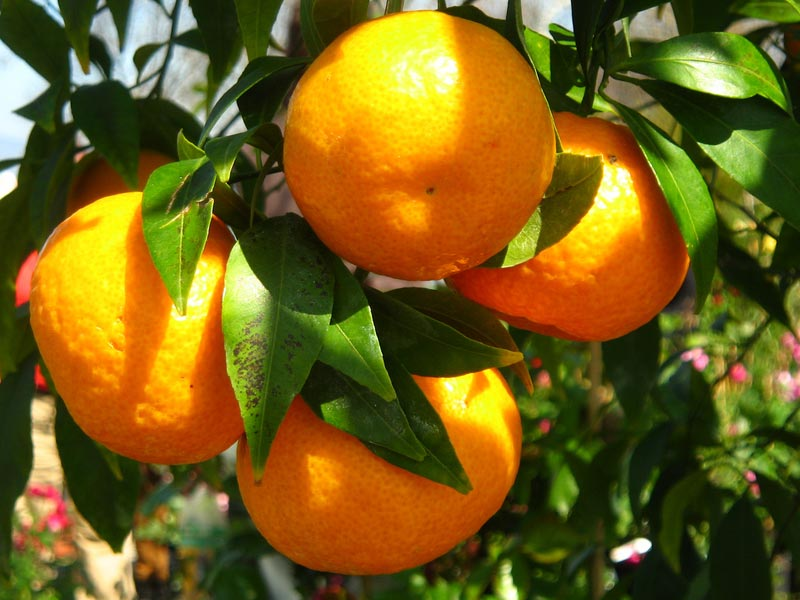agr mandarino