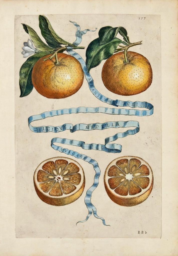 Aurantium, da Hesperides di G.B.Ferrari, 1646