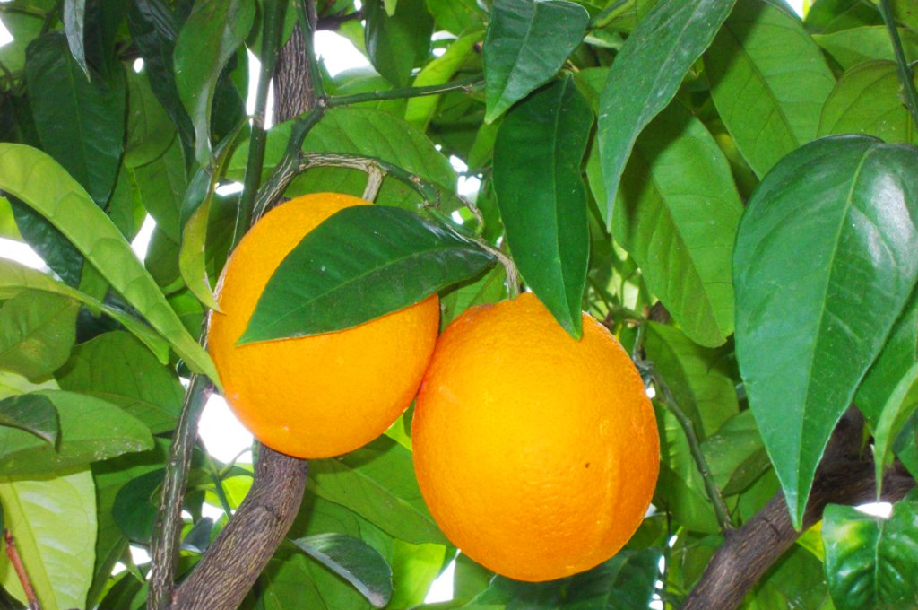 Arancia di San Giuseppe