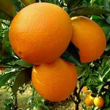 arancia Navel ombelicata